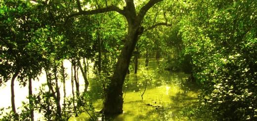 Sundarbans (Sundari Trees)