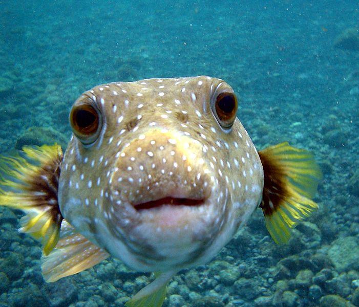 Puffer_Fish