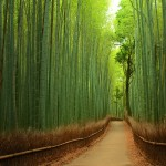 Beautiful Bamboo Forest – Japan