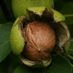 Top 5 Most Profitable Nut Trees to Grow