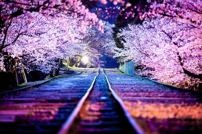 Pink cherry trees japan blossoms