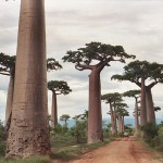 Amazing Tree Avenue of the Baobabs
