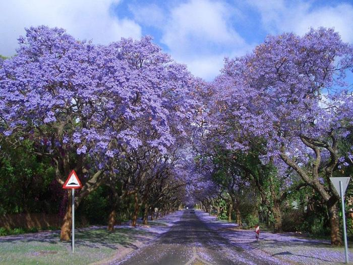 Jacarandas Tree Tunnel
