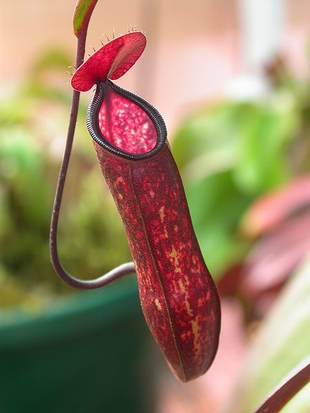 Nepenthes_muluensis