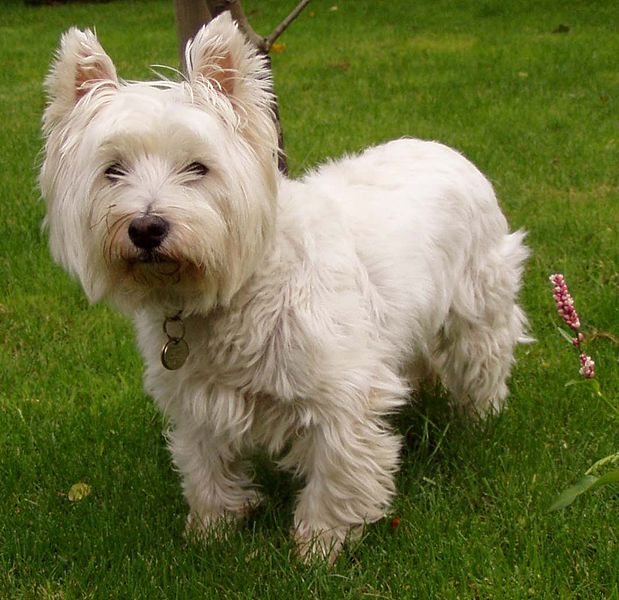619px-West_Highland_White_Terrier