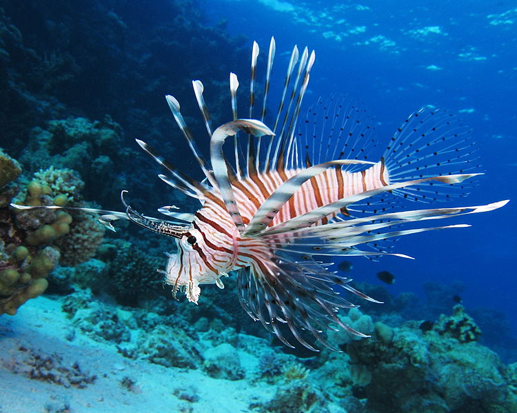 750px-Common_lionfish_at_Shaab_El_Erg_reef_(landscape_crop)