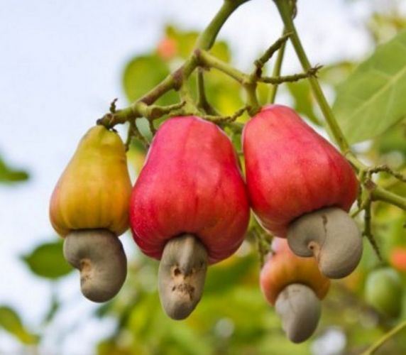 Weird Fruits That Grow On Trees 7