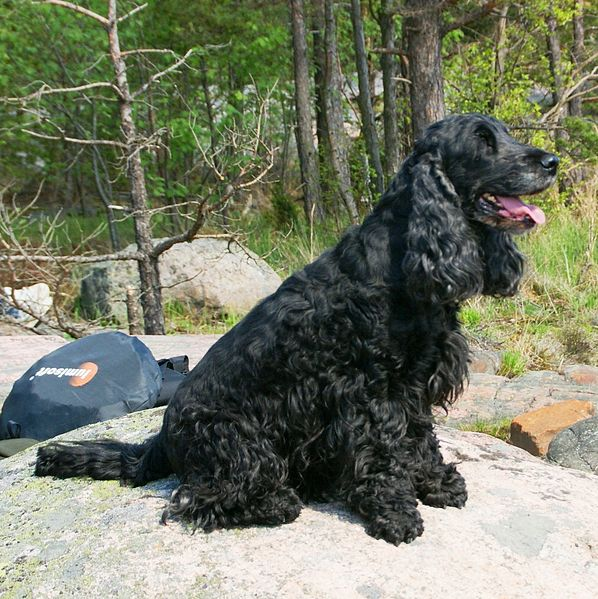English_Cocker_Spaniel_black