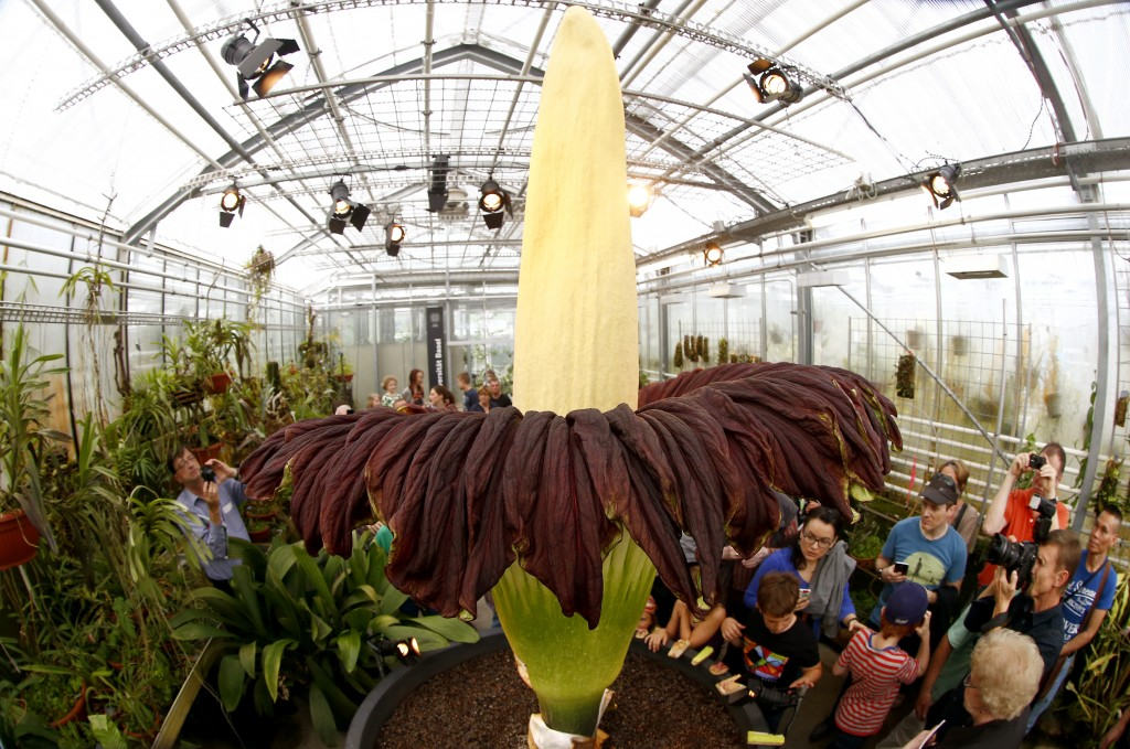 Visitors look at a blooming Titan Arum (Amorphophallus titanum), one of the world's largest and rare tropical flowering plants, at Basel's Botanical Garden September 29, 2014. The flower, which emits strong odour likened to rotting meat, which gives it it's common name 'corpse flower', wilts and dies after two days. Both the 'fragance' and the flower's meat-colouration attract pollinators - carrion flies and beetles. REUTERS/Arnd Wiegmann (SWITZERLAND - Tags: ENVIRONMENT SOCIETY) - RTR486SE