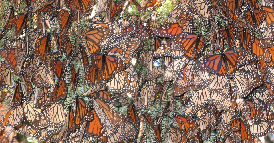 Central-America-Monarch-Butterflies