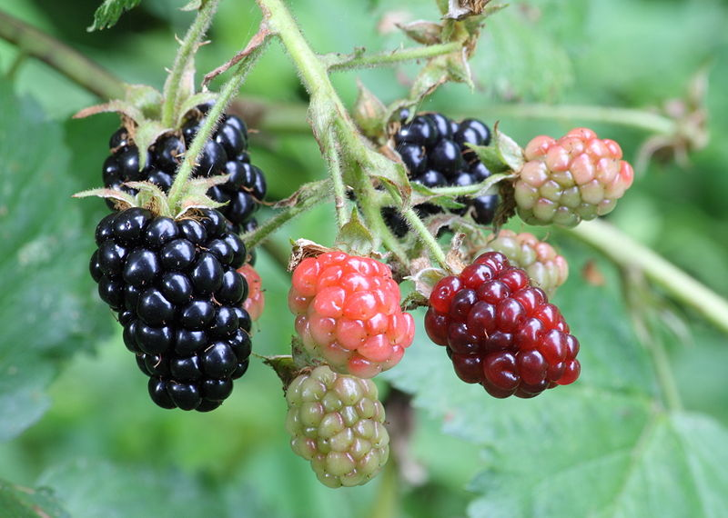 800px-Ripe,_ripening,_and_green_blackberries