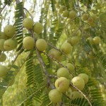 Top 10 Health Benefits of Indian Gooseberry or Amla