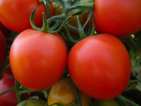 hybrid-tomato-500x500