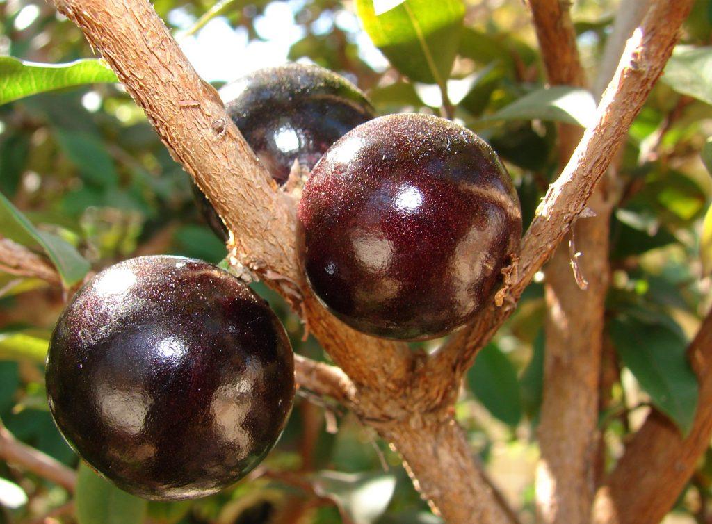 jabuticaba_fruto