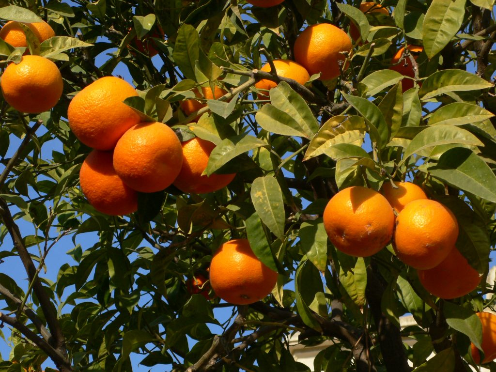 642114-fruit-of-orange-tree