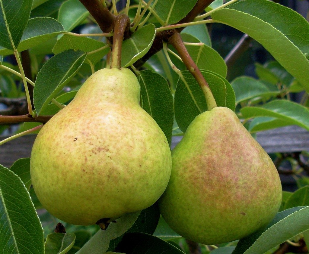 pear-fruit1