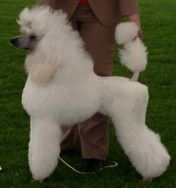 Poodle,_cropped