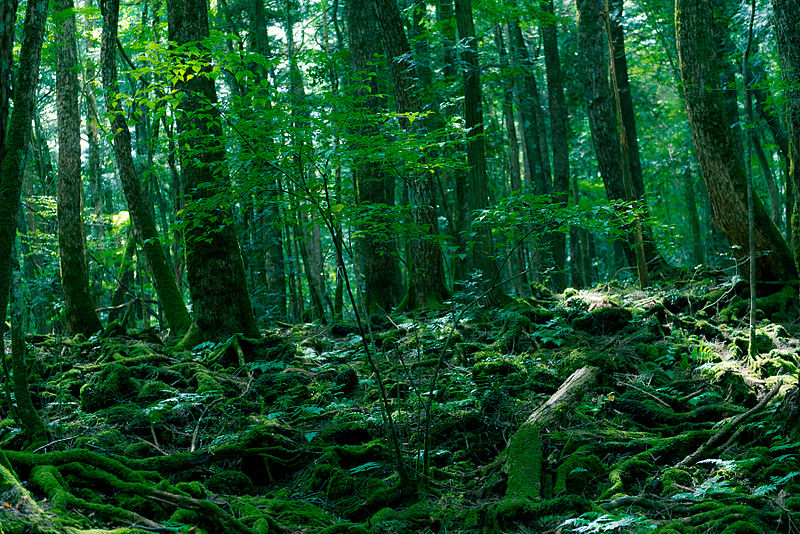 800px-Aokigahara_Forest