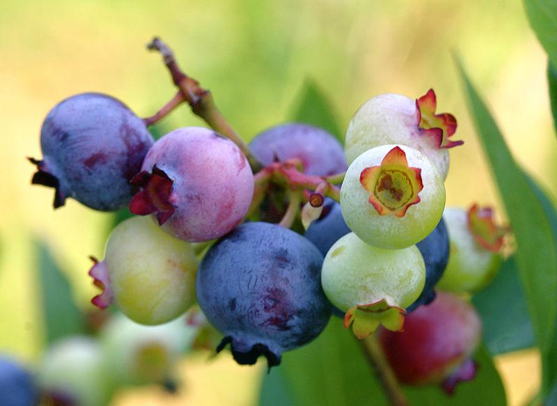 800px-PattsBlueberries