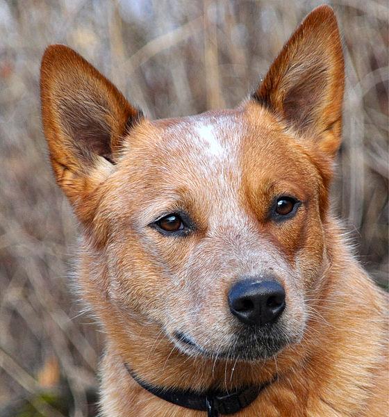 Australian_Catle_Dog_Silverbarn's_Paavo