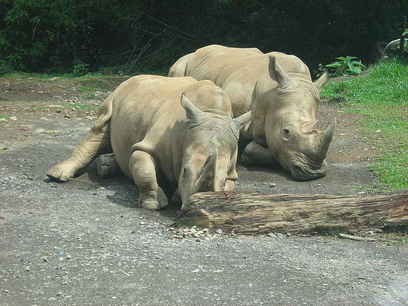 White_Rhino_taman_safari