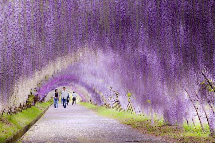 wisteria flower tree tunnels
