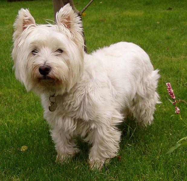 619px-West_Highland_White_Terrier