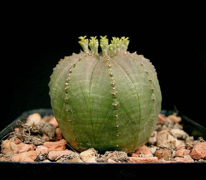 Euphorbia_obesa