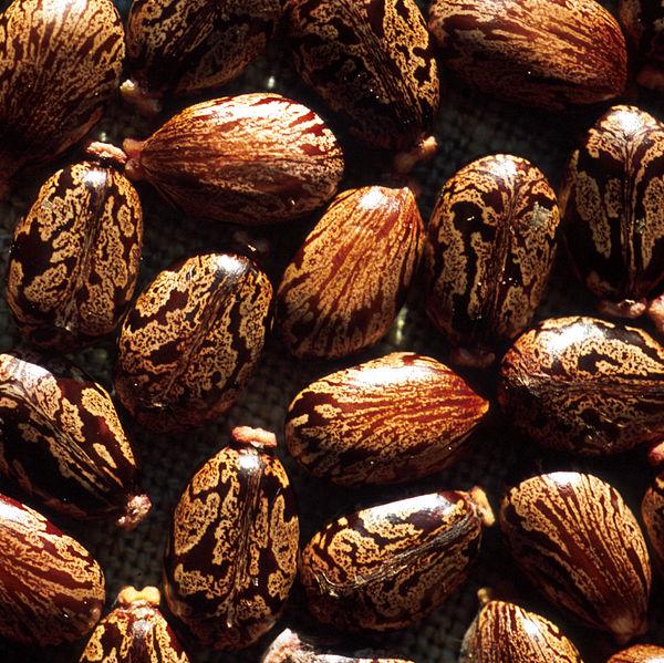 Seeds_of_Ricinus_communis (1)