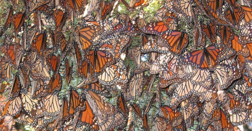 Central-America-Monarch-Butterflies