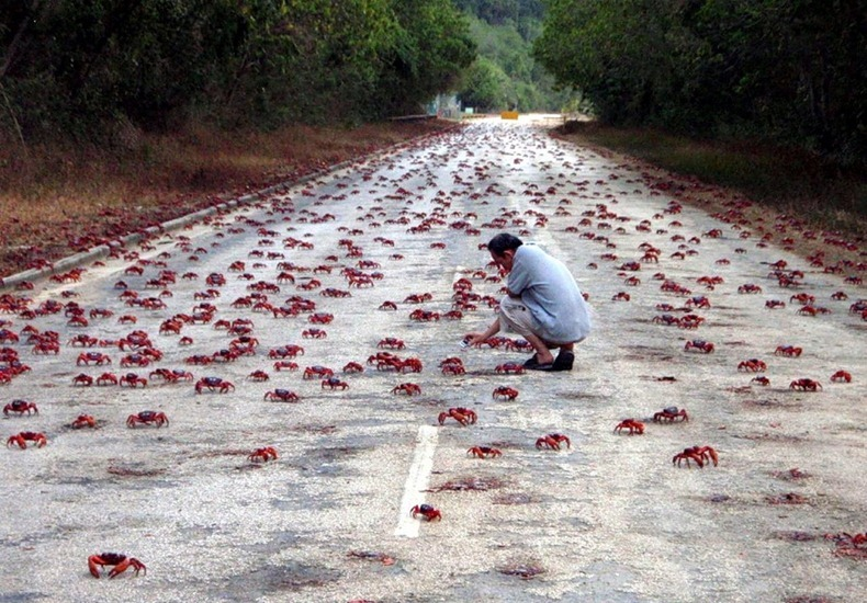 red-crab-migration